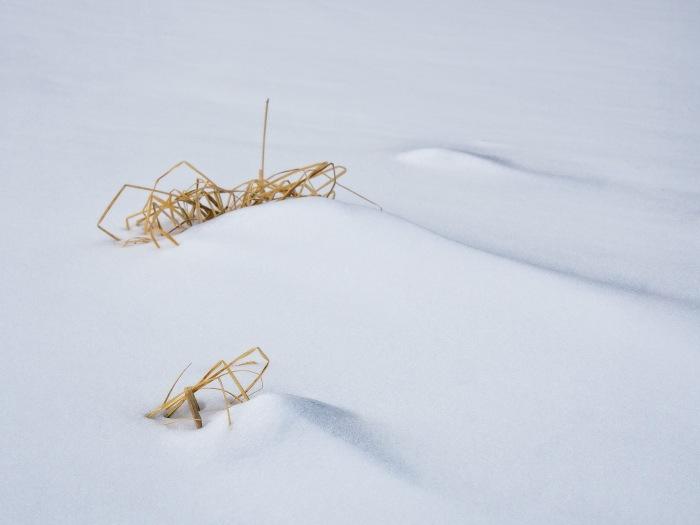 bent-grass-blades-snow