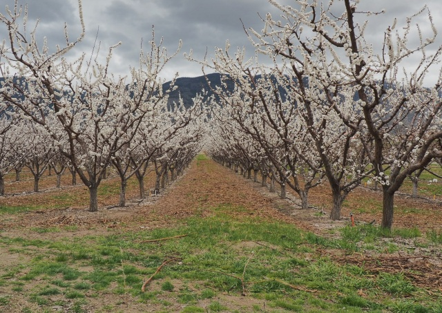 Osoyoos-apricot-blossoms
