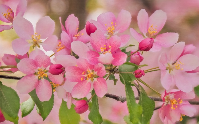 crab-apple-blossoms