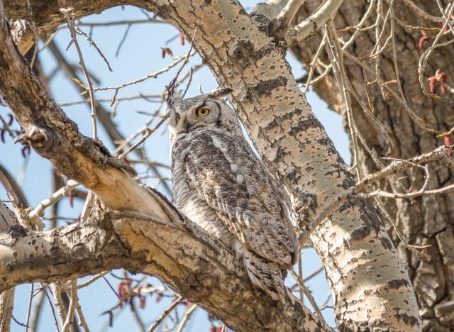 great-horned-owl
