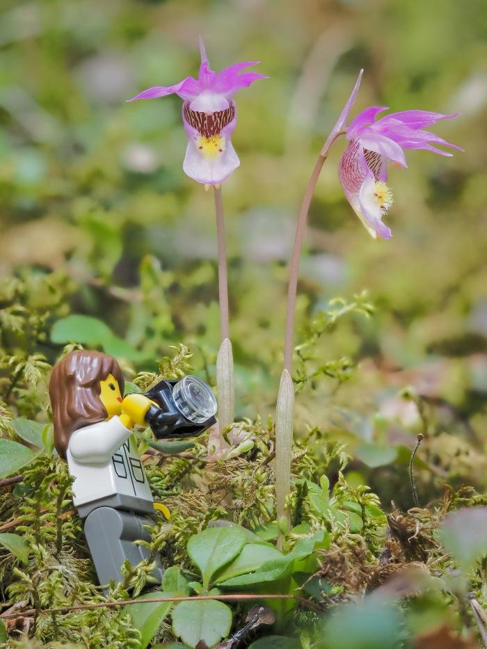 calypso-orchids
