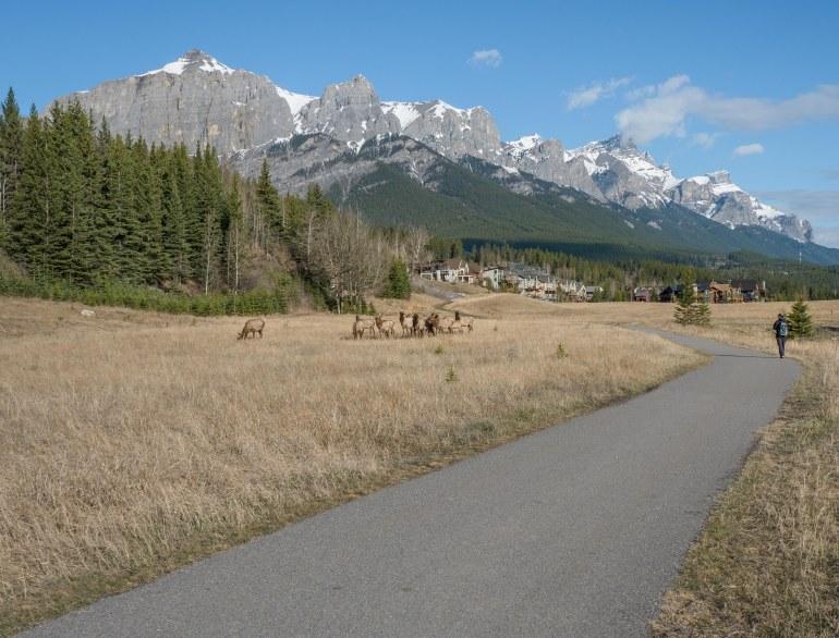 walking-canmore-elk