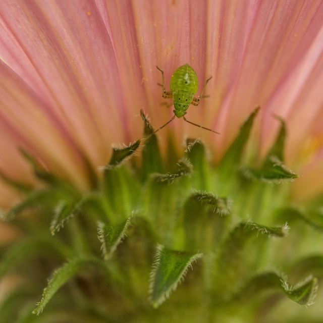 green-aphid-cone-flower