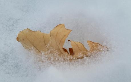 autumn-leaf-in-snow