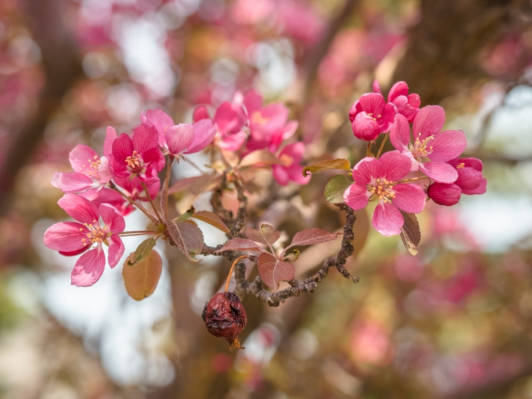 Past year apple current year apple blossoms