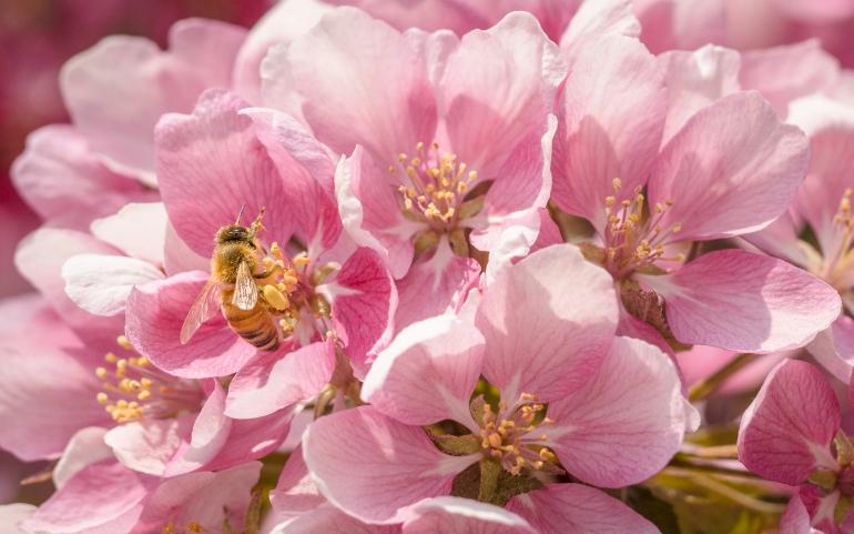 Pollinator on crab apple blossom