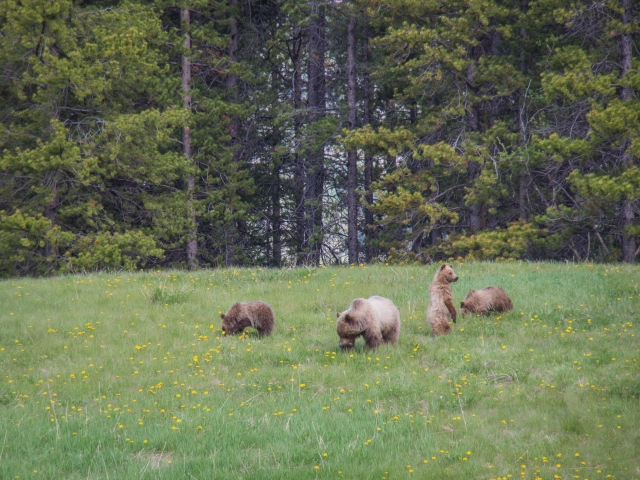 grizzly-sow-three-cubs