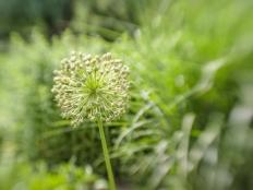 halifax-public-gardens-allium