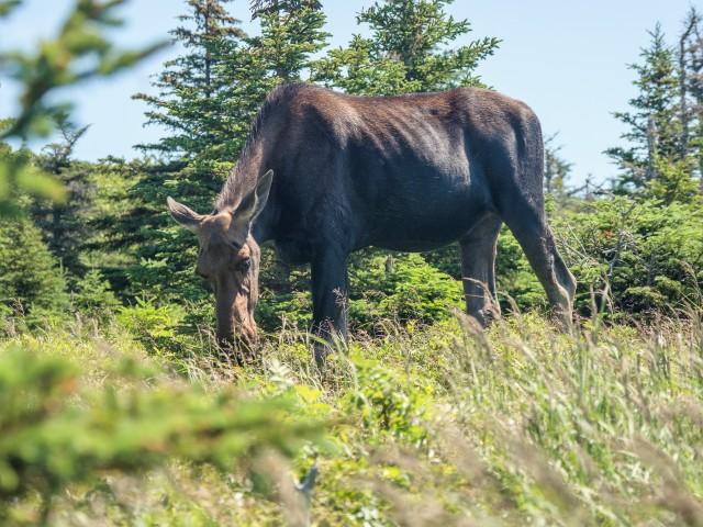 moose-on-skyline-trail