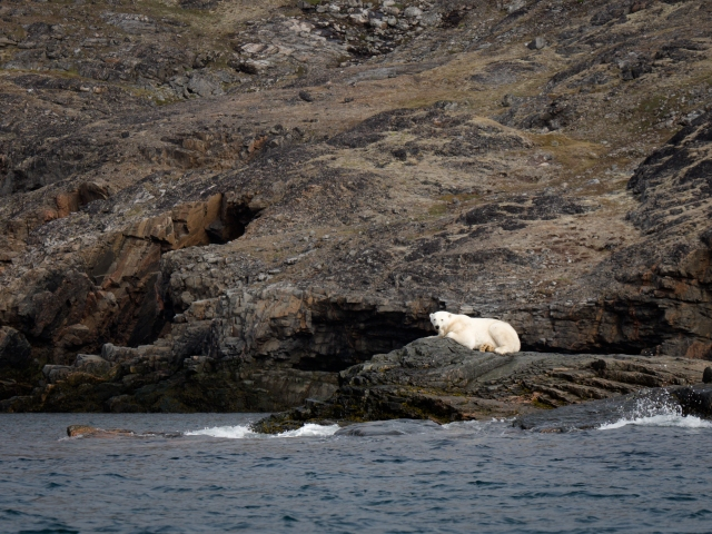 Polar Bear in the Button Islands