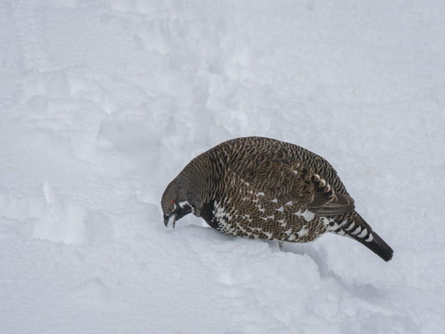 spruce-grouse-eating-snow