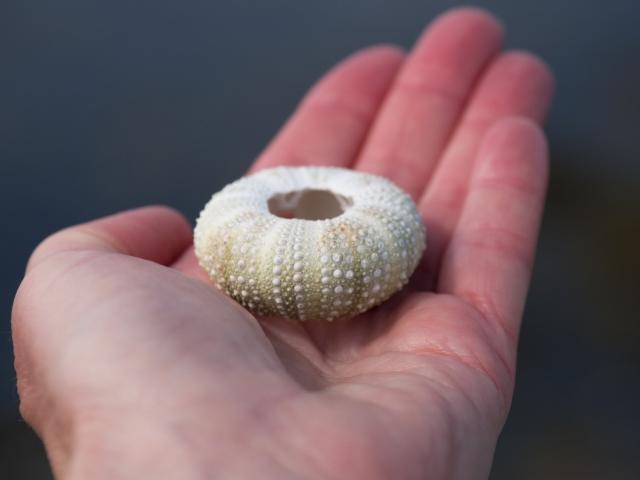 sea-urchin-shell-in-hand