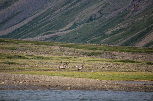caribou-nachvak-fjord