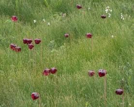 field-of-pitcher-plants