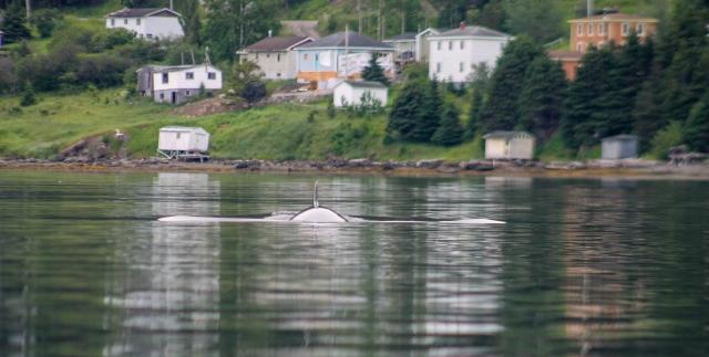 whale-in-bonne-bay