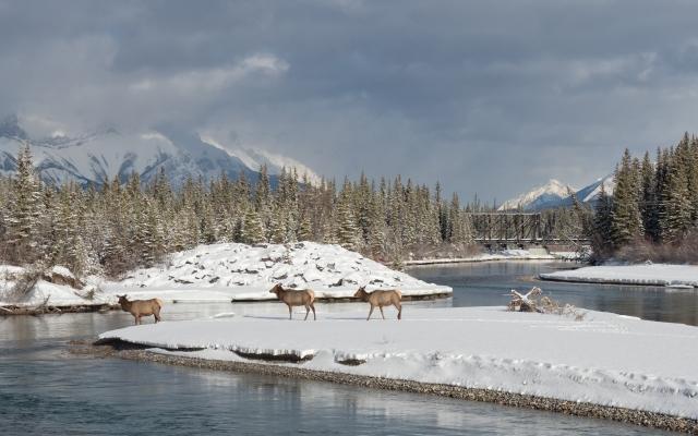 elk-crossing-Bow-River