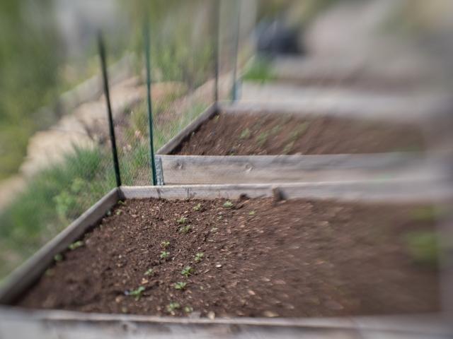 pandemic-gardening